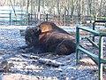 Bizon amerykański leśny w Poznań Nowym Zoo - grudzień 2020 - 2.jpg