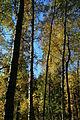 Bjørketrær i blandingsskog gulnes.JPG