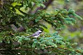 Black-capped chickadee (42971555441).jpg