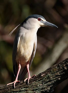Black-crowned night heron at Tennōji Park in Osaka, March 2016.jpg