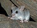 Black-tailed Tree Rat (Thallomys nigricauda) juvenile (7024276597).jpg