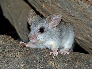 Black-tailed tree rat - Juvenile