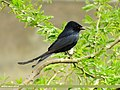 Black Drongo (Dicrurus macrocercus) (15706442040).jpg