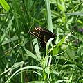 Black Swallowtail (Papilio polyxenes) (5989322314).jpg