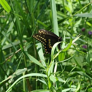 image of Black Swallowtail (Papilio polyxenes) (5989322314)