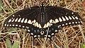 Black Swallowtail (Papilio polyxenes) - Kitchener, Ontario.jpg