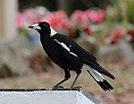 Black and White Bird 6 (31103329522).jpg