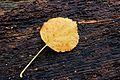 Blad klimhortensia Hydrangea anomala.JPG