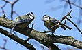 Blaumeise (Cyanistes caeruleus) im Grünfelder Park in Waldenburg. 2H1A3574WI.jpg