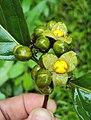 Blepharistemma serratum fruits 06.JPG