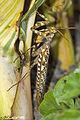 Blepharopsis mendica Devils Flower Mantis (7131991491).jpg