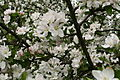 Blooming-tree-apple-spring - West Virginia - ForestWander.jpg