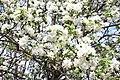 Blossom - panoramio (2).jpg