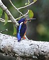 Blue-eared Kingfisher (Alcedo meninting) of Munjang Mangrove, West Kurau, Central Bangka, Indonesia.jpg