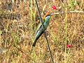Blue-throated Bee-eater, Subic Bay, Luzon 1.jpg