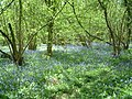 Bluebells in Mayall's Coppice - geograph.org.uk - 103770.jpg