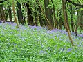 Bluebells on road to Coombe End - geograph.org.uk - 1509343.jpg