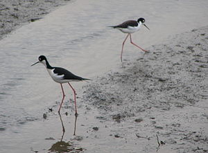Bay mud - Black-necked stilts foraging on Pickleweed Inlet mudflats