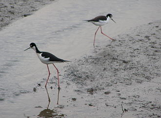 Richardson Bay - Black-necked stilt foraging in Richardson Bay mudflat