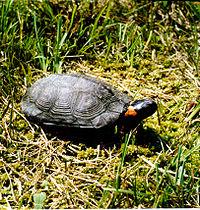 Una tortuga de pantano levantando su cabeza ligeramente mientras está sobre el césped