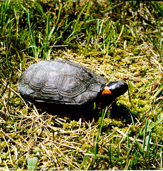Rabun County, Georgia - The threatened bog turtle