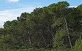 Bois des Aresquiers, Vic-la-Gardiole, Hérault 05.jpg