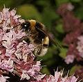 Bombus lucorum male (22840062572).jpg