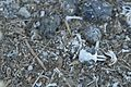 Boneyard of a Barn Owl, Carrizo Plain (8159032417).jpg