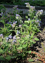 File:Borago officinalis Prague 2014 1.jpg