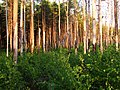 Boreal pine forest 9 years after fire, 2015-08.jpg
