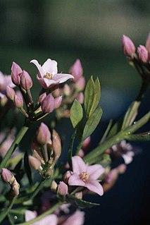 <i>Boronia spathulata</i> species of plant