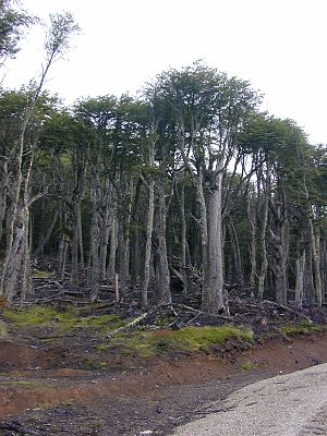 Nothofagus pumilio - Lenga forest in Aisen Region, Chile