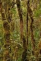 Bosque en el Mirador - Génova - Quindío (1) - Flickr - Alejandro Bayer.jpg