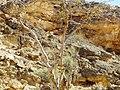 Boswellia sacra in Dhofar.JPG