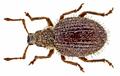 Brachysomus echinatus (Bonsdorff, 1785) (15476407265).png