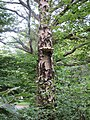 Bracket fungus on Silver Birch - geograph.org.uk - 2501005.jpg