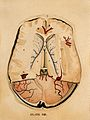 Brain; horizontal section. Watercolour after(?) W.H. Lizars, Wellcome V0008415EL.jpg