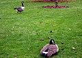 Branta canadensis, Kew Gardens.jpg