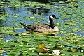 Branta canadensis at VanDusen Botanical Garden 1.jpg