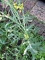 Brassica rapa L. (AM AK330285-1).jpg