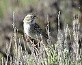 Brewer's sparrow on Seedskadee National Wildlife Refuge (34978701562).jpg