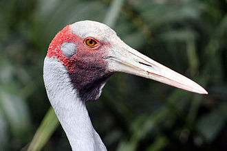 Brolga - Close up of the head