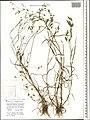 Bromus arvensis herbarium (04).jpg