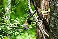 Brown-headed cowbird (26040437674).jpg