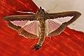 Brown & Clear-Winged Cuban Moth (8572430638).jpg