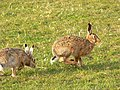 Brown hares - geograph.org.uk - 756218.jpg
