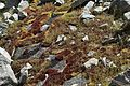 Bryum miniatum (glossy red bryum moss) (7149121897).jpg