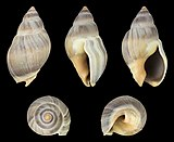Buccinanops globulosus 01.jpg