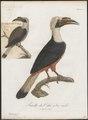 Buceros panini - 1801 - Print - Iconographia Zoologica - Special Collections University of Amsterdam - UBA01 IZ19300095.tif