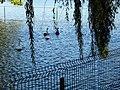 Bucuresti, Romania, Parcul Herastrau (Imagine de pe lacul Herastrau)(Lacul Lebedelor, 6); B-II-a-A-18802.JPG